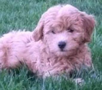 Dog Breed Mini Goldendoodle Petite Golden Doodles | Millpond