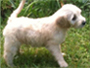 View our featured goldendoodle puppy.